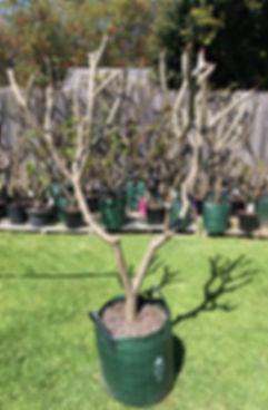 cotton candy frangipani.jpg