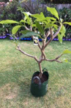 Medium frangipani for sale.jpg