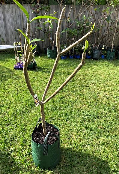 Little plumeria tree1.jpg