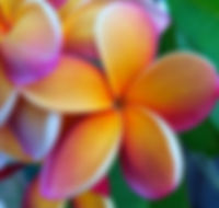 frangipani plants for sale