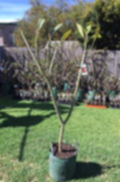 Darwin blood red tree 1.JPG