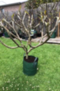 frangipani tree 18.jpg
