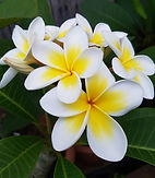 common white frangipani for sale
