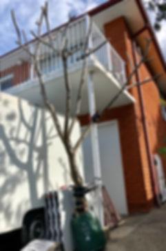 Frangipani tree 021.jpg
