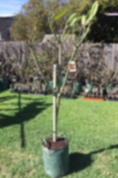 Darwin red tree 7.JPG