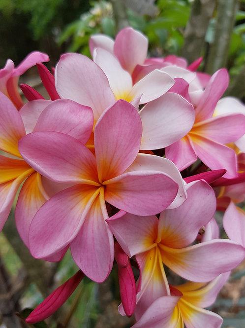 Aussie Pink Frangipani 140mm