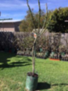 tri colour tree 2.JPG