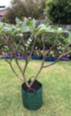 Plumeria tree for sale next.jpg