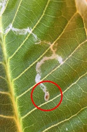 leaf minor.jpg