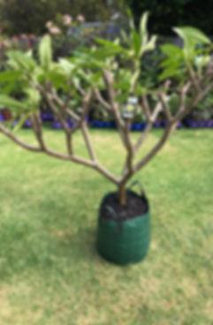 Plumeria tree for sale 5.jpg