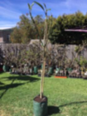 Tri colour frangipani 10.JPG