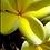 Thumbnail: Bowen Yellow Frangipani 140mm