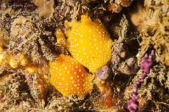 Phillidia flava