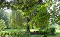 Trauerweide im Garten