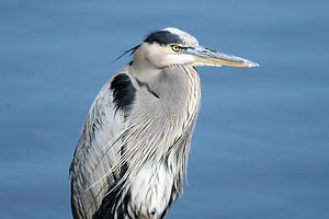 Great_Blue_Heron_close_8065.JPG
