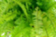 fern+fronds.jpg