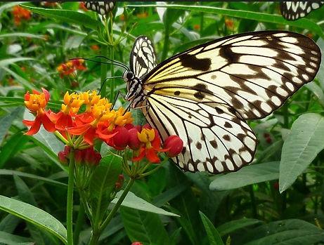 Idea Leuconoe, papillon des Philippines