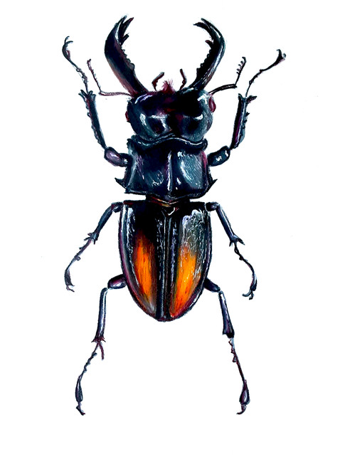 Sam Vernon, Stag Beetle
