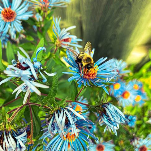 Niya Miah, Bee on Flower