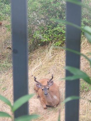 Deer-003.JPG