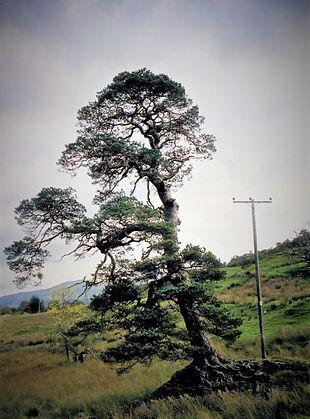 Tighnacraig Pine.jpg