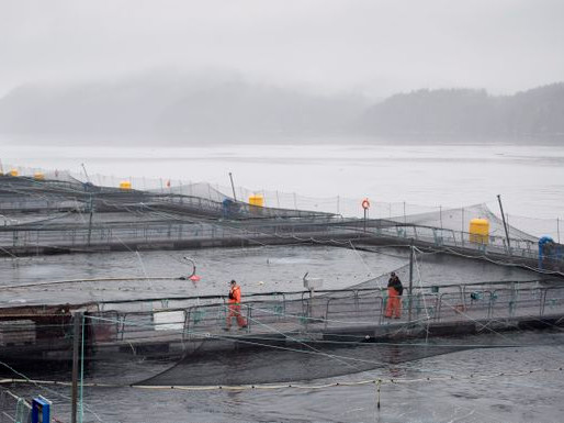 Scientist at Dept of Fisheries & Oceans says Ottawa too beholden to fish farm industry -Globe & Mail