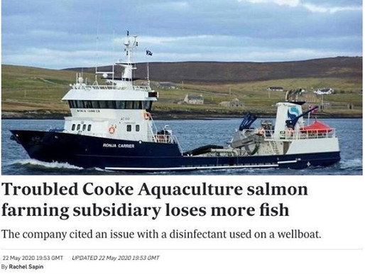 Troubled Cooke Aquaculture salmon farming subsidiary loses more fish | Intrafish
