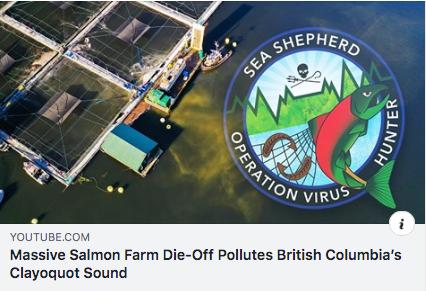 Sea Shepherd Video of Massive Salmon Die-Off at CERMAQ farms in Tofino BC