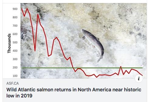 Wild Atlantic salmon returns in North America near historic low in 2019 - Atlantic Salmon Federation