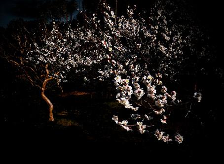 もうすぐ桜が咲くのに梅もきれいだ