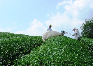 00景観茶刈り.jpg