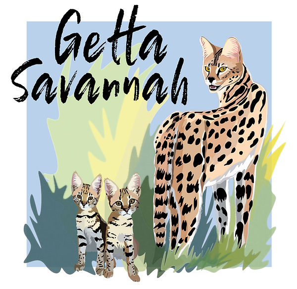 savannah kitten, available savannahs, F1 savannah, F2 savannah, F3 savannah, F6 savannah, F7 savannah, available savannah kittens, cat, cat, exotic, exotic cats, big cats, hybrid cats, hybrid, serval, feline, kittens, available kittens, San Diego, California, savannah, savannah cats, getta savannah, getta savannah cattery, TICA, savannah cats for sale, savannah kittens for sale, savannah cat