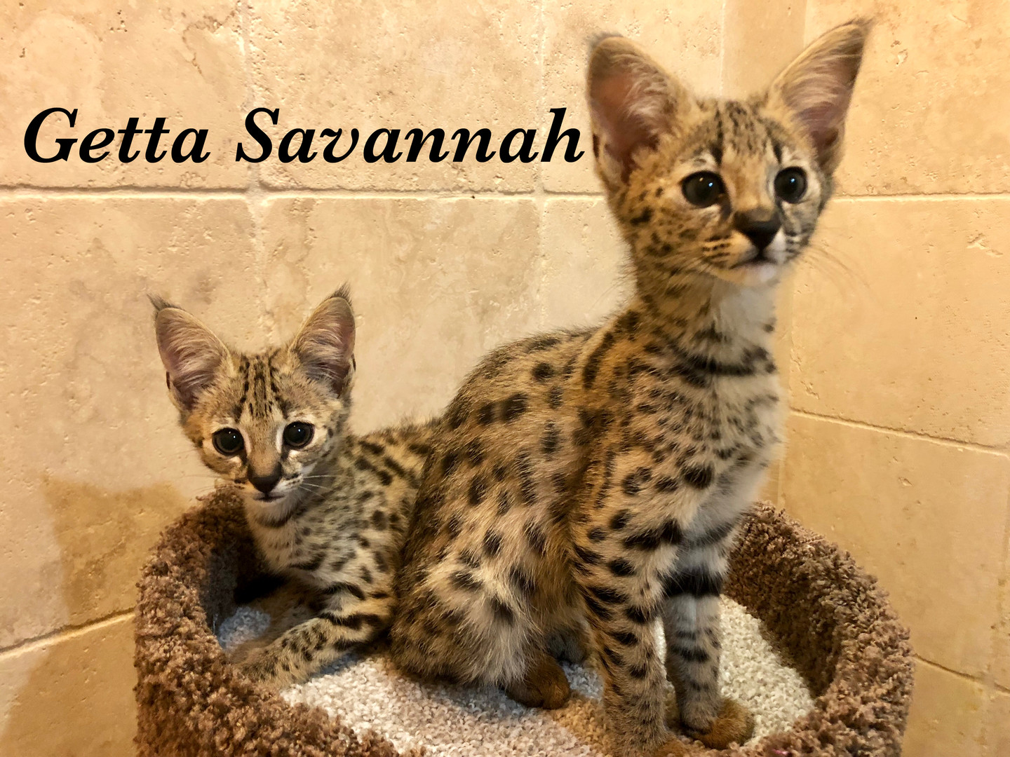 Getta Savannah Cattery