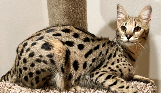 QUEENS & SIRES | Savannah Cats For Sale | Getta Savannah