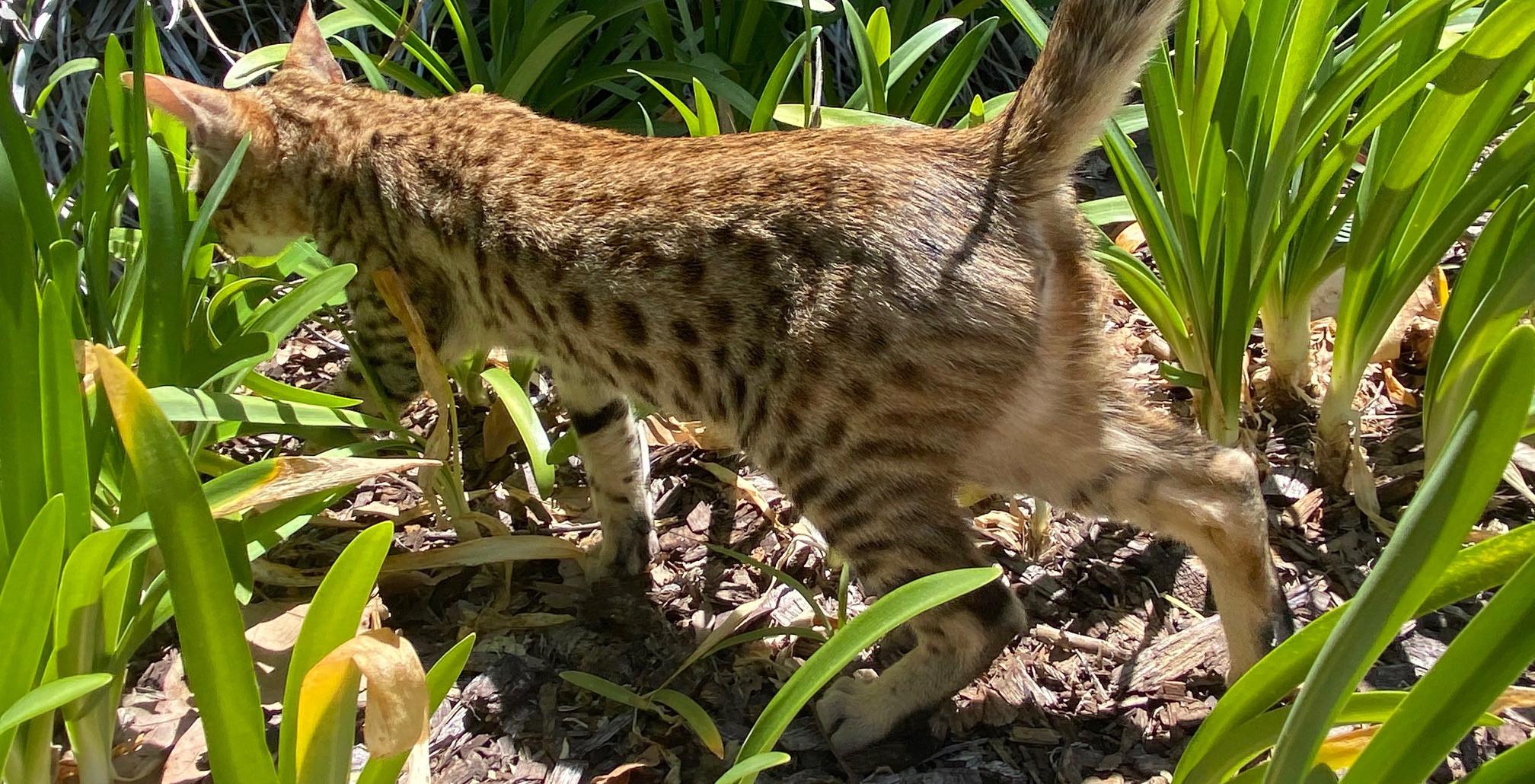F6 savannah kitten