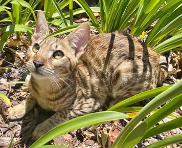 F6 savannah kittens