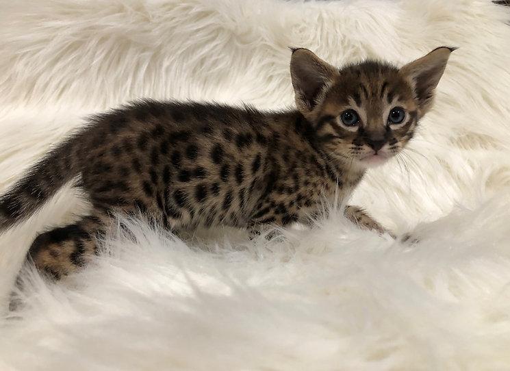 savannah, savannah kittens, available savannah kittens, getta savannah, getta savannah cattery, exotic, hybrid,savannah kitten, available savannahs, F1 savannah, F2 savannah, F3 savannah, F6 savannah, F7 savannah, available savannah kittens, cat, cat, exotic, exotic cats, big cats, hybrid cats, hybrid, serval, feline, kittens, available kittens, San Diego, California, savannah, savannah cats, getta savannah, getta savannah cattery, TICA, savannah cats for sale, savannah kittens for sale, savannah cat