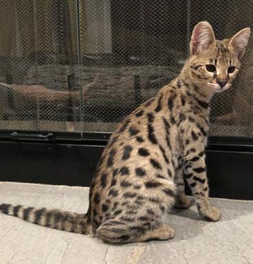 Getta Savannah Cattery