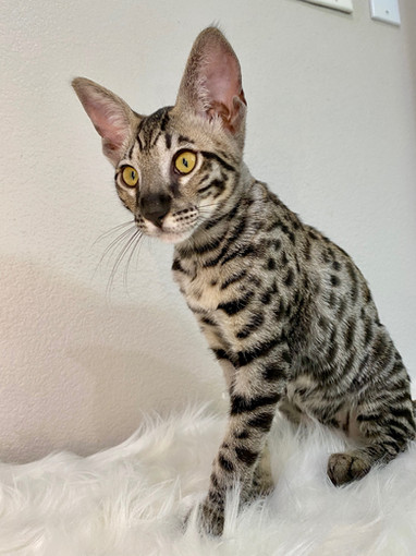 Getta Savannah, F6 savannah kitten