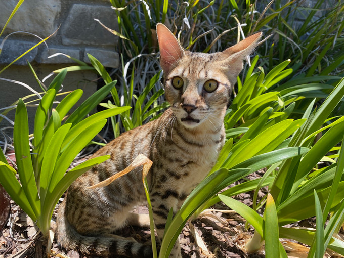 F6 savannah kitten