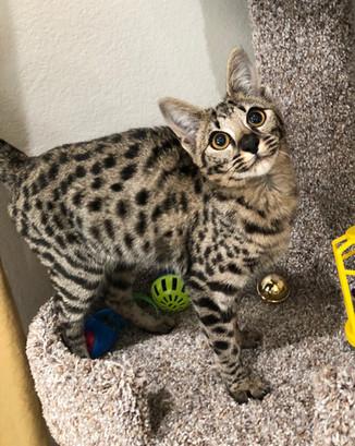 F2 Savanah Kitten
