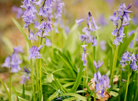 """Enchanted"" Bluebells flowering in Derby and on location photography."