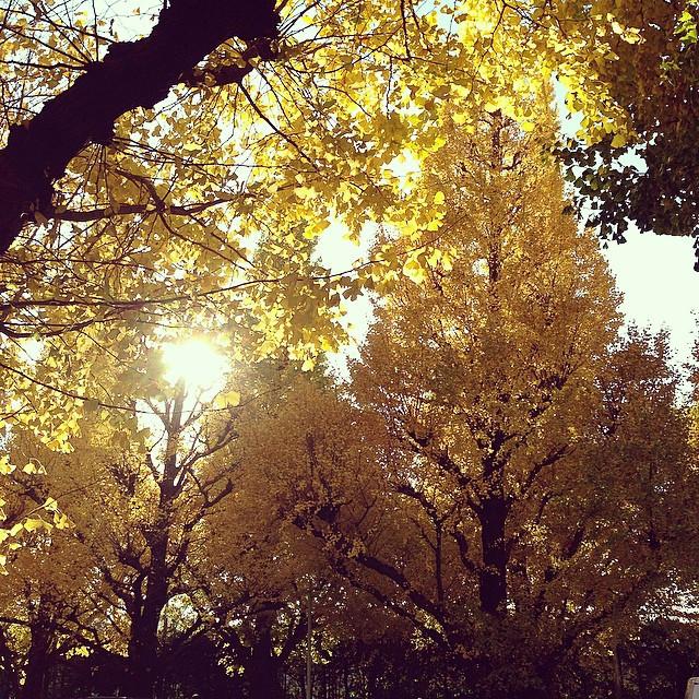 Instagram - 外苑銀杏並木。 少し混んでたけど、癒された〜。 walking down lined gingko biloba trees at Ao