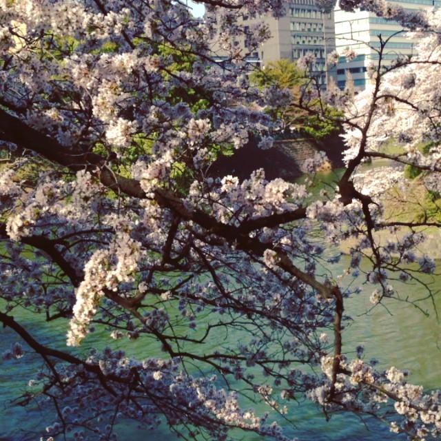 Instagram - 花見 at 北の丸公園  満開〜^ ^  #花見 #満開 #桜 #景色 #cherryblossom #fullbloom #view