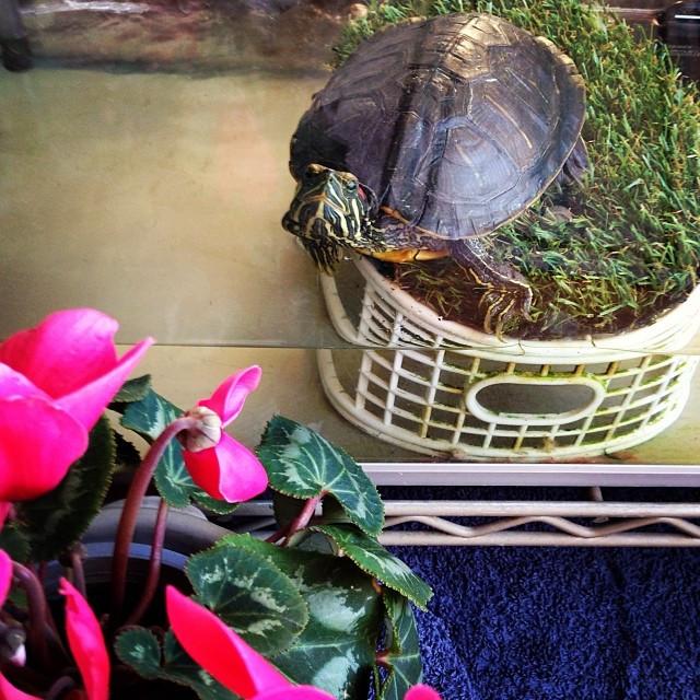 Instagram - 甥っ子の亀🐢 「見るんじゃねえよ〜💢」 と言っているように見える(笑)  my nephew's turtle look like