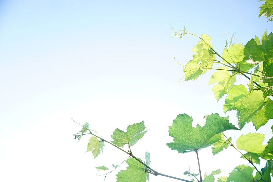 grapevine-on-sky.jpg