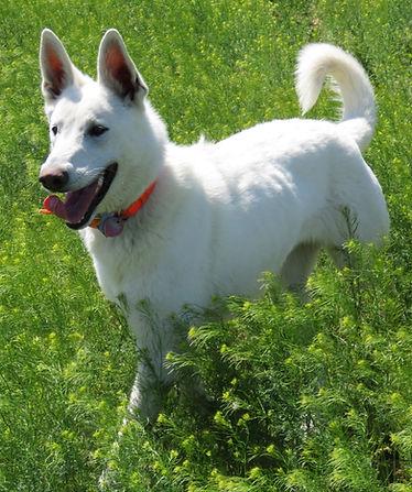 White German Shepherd Puppies at White Puppy Ranch - Texas