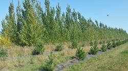 hybrid poplar 4 yr old