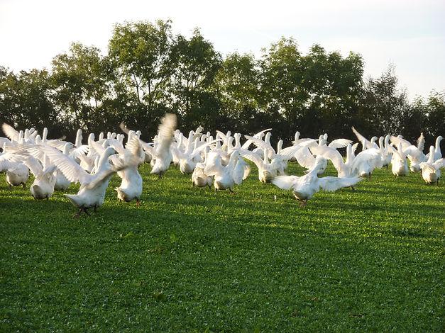 Geese flapping 3.JPG