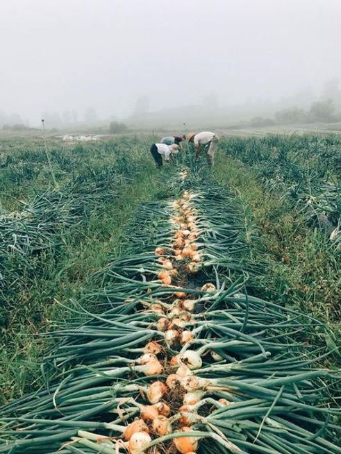 onions windflower farm .jpg